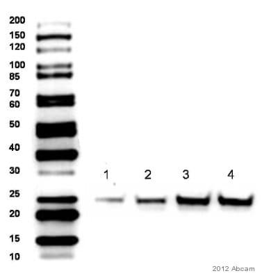 Western blot - Anti-SOCS3 antibody (ab16030)