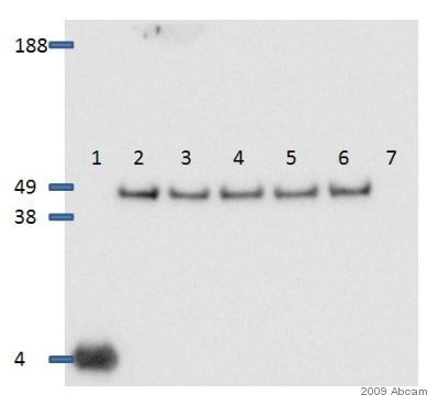Western blot - Donkey polyclonal Secondary Antibody to Rabbit IgG - H&L (HRP) (ab16284)