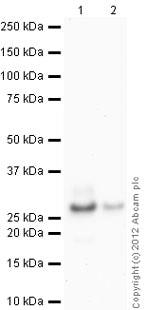 Western blot - Anti-Trypsin antibody [2C4] (ab17263)