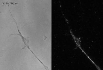 Immunocytochemistry/ Immunofluorescence - SMURF 2 antibody (ab17919)