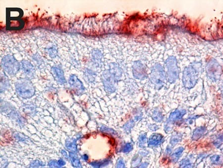 Immunohistochemistry (Formalin/PFA-fixed paraffin-embedded sections) - Anti-Fluorescein antibody (HRP) (ab19492)