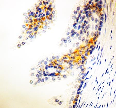 Immunohistochemistry (Formalin/PFA-fixed paraffin-embedded sections) - Anti-NRG1 antibody [7D5] (ab2369)