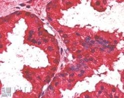 Immunohistochemistry (Formalin/PFA-fixed paraffin-embedded sections) - AIBZIP antibody (ab2474)