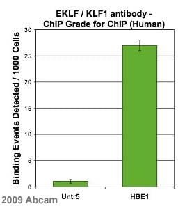 ChIP - Anti-EKLF / KLF1 antibody - ChIP Grade (ab2483)