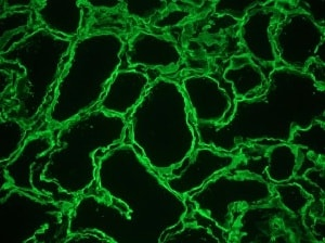 Immunohistochemistry (Frozen sections) - Anti-Heparan Sulphate Proteoglycan (Large) antibody [A7L6] (ab2501)