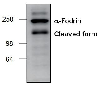 Western blot - Alpha Fodrin antibody (ab2558)