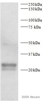 Western blot - eIF4EBP1 antibody (ab2606)
