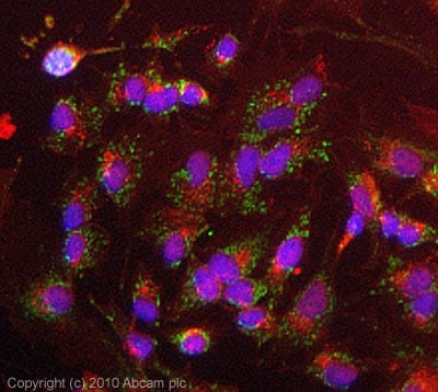 Immunocytochemistry/ Immunofluorescence - TRAP1 antibody [TRAP1-6] (ab2721)