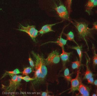 Immunocytochemistry/ Immunofluorescence - Aryl hydrocarbon Receptor  antibody [RPT9] (ab2769)