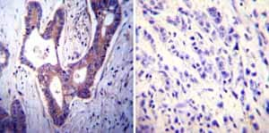 Immunohistochemistry (Formalin/PFA-fixed paraffin-embedded sections)-Anti-Calcium Pump pan PMCA ATPase antibody [5F10](ab2825)