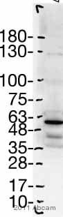 Western blot - Anti-DMAP1 antibody - ChIP Grade (ab2848)