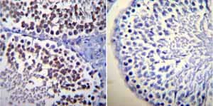 Immunohistochemistry (Formalin/PFA-fixed paraffin-embedded sections)-Anti-Calmodulin antibody [2D1](ab2860)