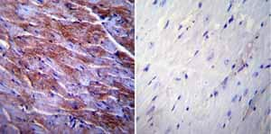 Immunohistochemistry (Formalin/PFA-fixed paraffin-embedded sections) - Anti-Caveolin-3 antibody (ab2912)