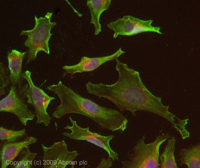 Immunocytochemistry/ Immunofluorescence - ErbB 3 antibody [RTJ2] (ab20161)
