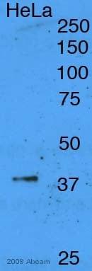 Western blot - Anti-XRCC3 antibody [XRCC3 10F1/6] (ab20254)