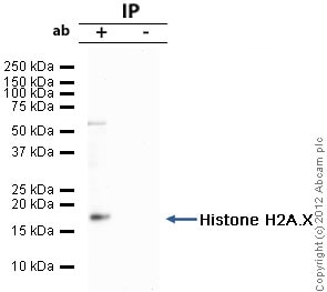Immunoprecipitation - Anti-Histone H2A.X antibody (ab20669)