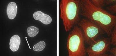 Immunocytochemistry/ Immunofluorescence - Anti-pan Lamin antibody [X67, X167, X233] (ab20740)