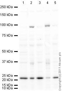 Western blot - Haspin antibody (ab21686)
