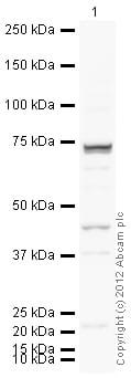 Western blot - Anti-Gata6 antibody (ab22600)