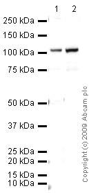 Western blot - Dishevelled 2 antibody (ab22616)
