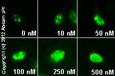 Immunocytochemistry/ Immunofluorescence - Anti-Nucleolin antibody (ab22758)