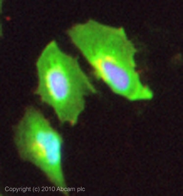 Immunocytochemistry/ Immunofluorescence - Syndecan 4 antibody (ab24511)