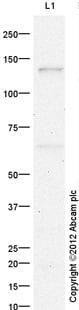 Western blot - Anti-RNF40 antibody (ab26082)