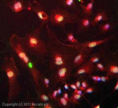 Immunocytochemistry/ Immunofluorescence-SSRP1 antibody [10D7](ab26212)