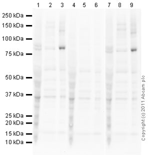 Western blot - Anti-FOXO3A (phospho T32) antibody (ab26649)
