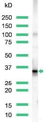 Western blot - CD20 antibody, prediluted (ab27092)
