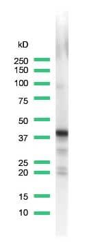 Western blot - Synaptophysin antibody [SP11], prediluted (ab27601)