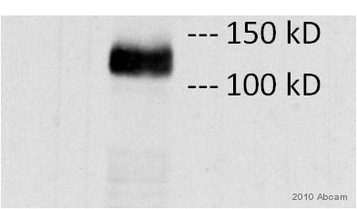 Western blot - V5 tag antibody [SV5-Pk1] (ab27671)
