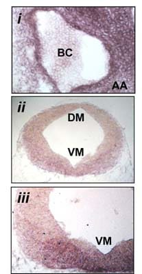 Immunohistochemistry (PFA perfusion fixed frozen sections) - Anti-Wnt2  antibody (ab27794)