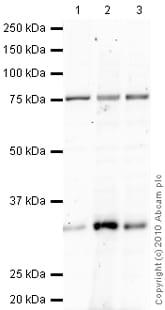 Western blot - Cyclin D3 antibody [DCS22] (ab28283)
