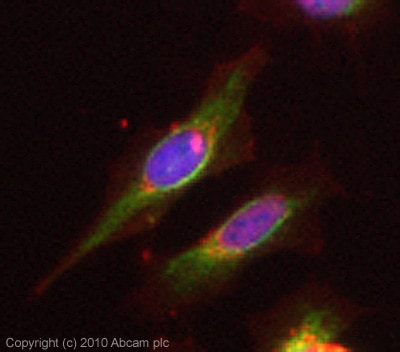 Immunocytochemistry/ Immunofluorescence - PCK1 antibody - Azide free (ab28455)