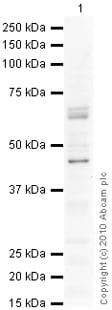 Western blot - GHRHR antibody (ab28692)