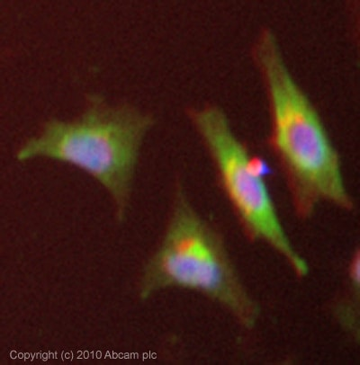 Immunocytochemistry/ Immunofluorescence - SREBP1 antibody [2A4] (ab3259)