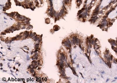 Immunohistochemistry (Formalin/PFA-fixed paraffin-embedded sections)-PER1 antibody(ab3443)