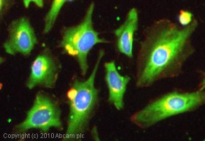 Immunocytochemistry/ Immunofluorescence-Dynamin 3 antibody(ab3458)