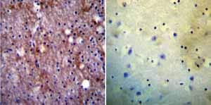 Immunohistochemistry (Formalin/PFA-fixed paraffin-embedded sections)-Anti-PMCA1 antibody(ab3528)