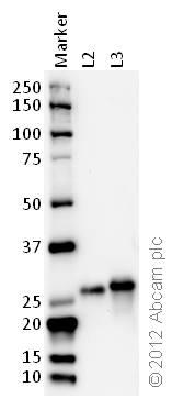 Western blot - Anti-14-3-3 (phospho S58) antibody (ab30554)