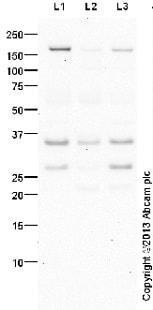 Western blot - Anti-PITX3 antibody - Neuronal Marker (ab30734)
