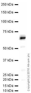 Western blot - NOX2/gp91phox antibody (ab31092)