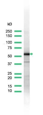 Western blot - Hsp60 antibody (ab31115)
