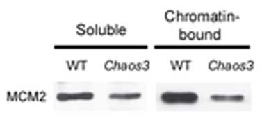 Western blot - MCM2 antibody (ab31159)