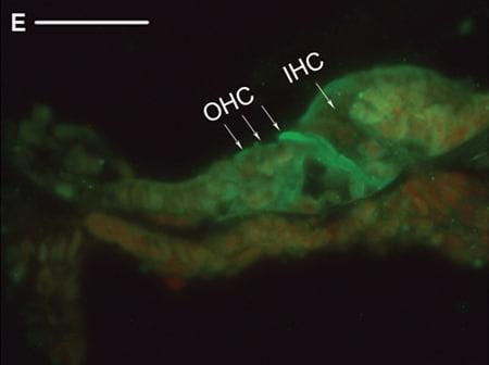 Immunohistochemistry (Frozen sections) - Anti-Chd7 antibody (ab31824)