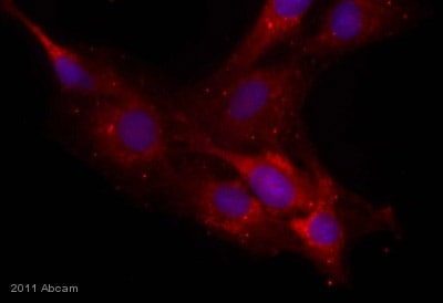 Immunocytochemistry/ Immunofluorescence - Anti-Neurocan antibody [650.24] (ab31979)
