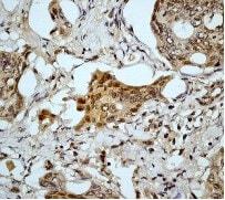 Immunohistochemistry (Formalin/PFA-fixed paraffin-embedded sections) - Anti-pro Caspase 9 antibody [E84] (ab32068)