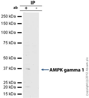 Immunoprecipitation - Anti-AMPK gamma 1 antibody [Y308] (ab32508)