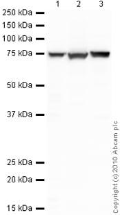 Western blot - GRP78 BiP antibody (ab32618)